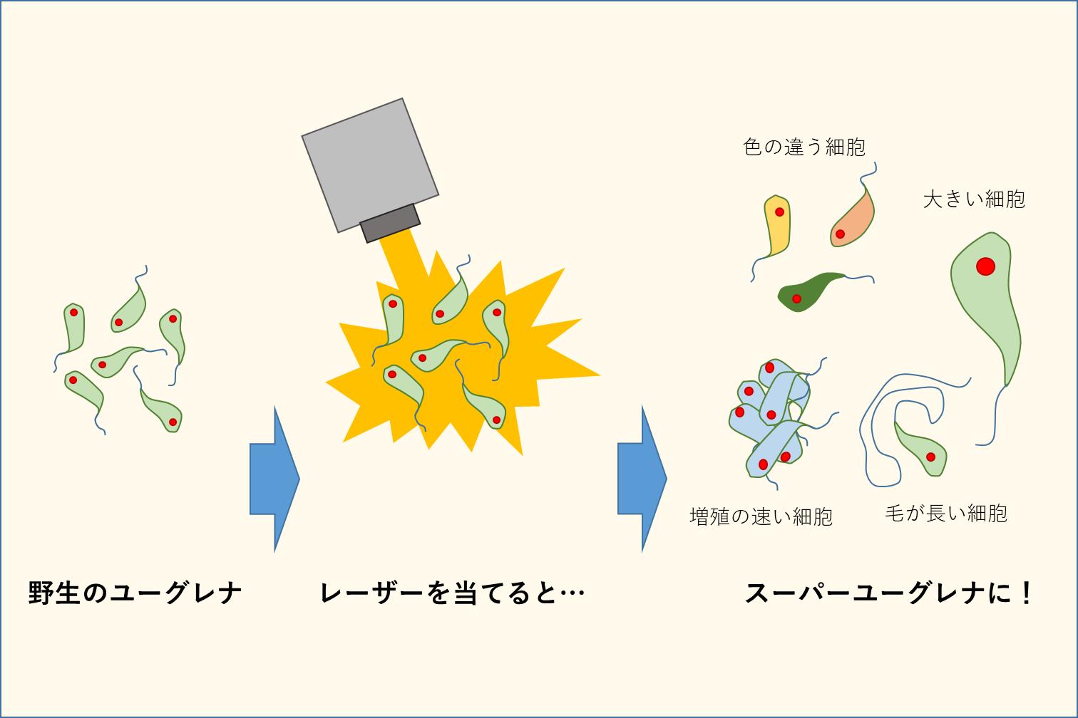 【研究紹介】ユーグレナの品種改良